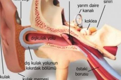 Kulak Anatomisi